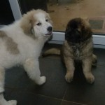 Leonberger: Zamba Pa Ti - Samia Leo vom Jerichower land en pyreneese berghond: Chenespas All That I Am