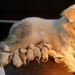 Pyreneese Berghond: Symfonie van merode R-nest