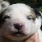 Pyreneese Berghond pups