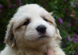 Pyreneese berghond pup